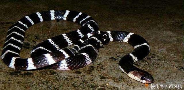 动物世界: 金环蛇和银环蛇, 哪个毒性更大?