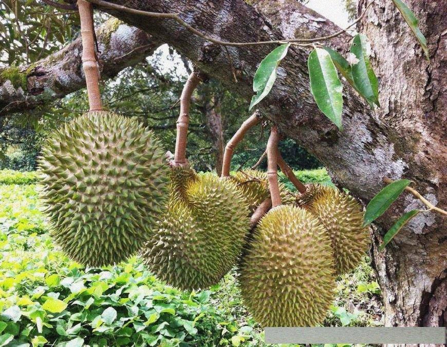 水果原来是这么长出来的,火龙果树像仙人掌,网