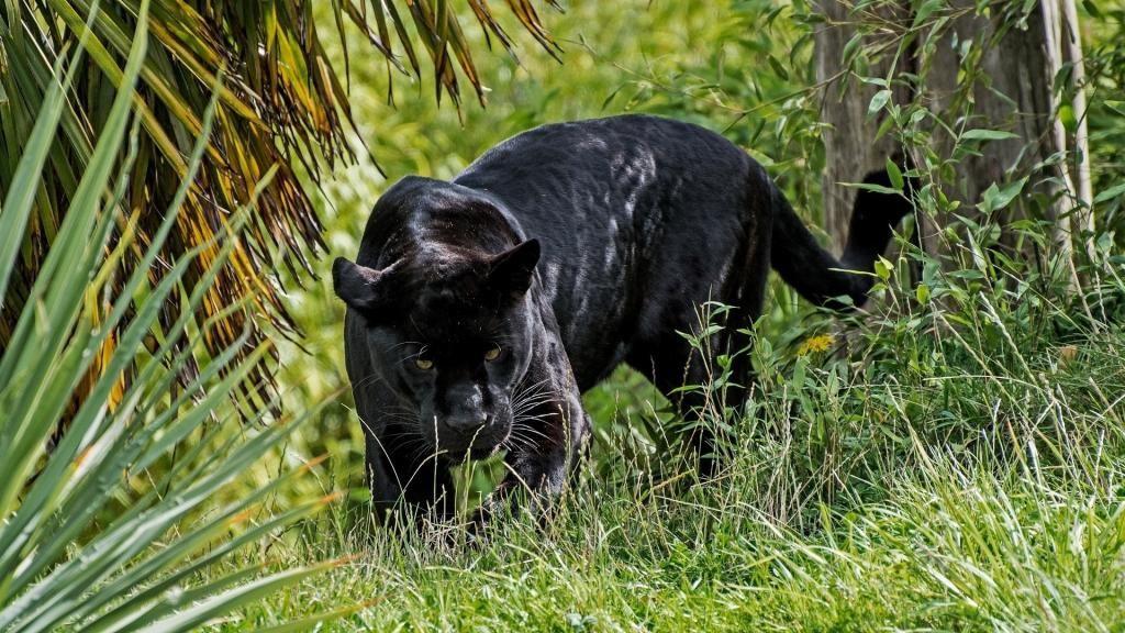 动物界的美与力量之王黑豹