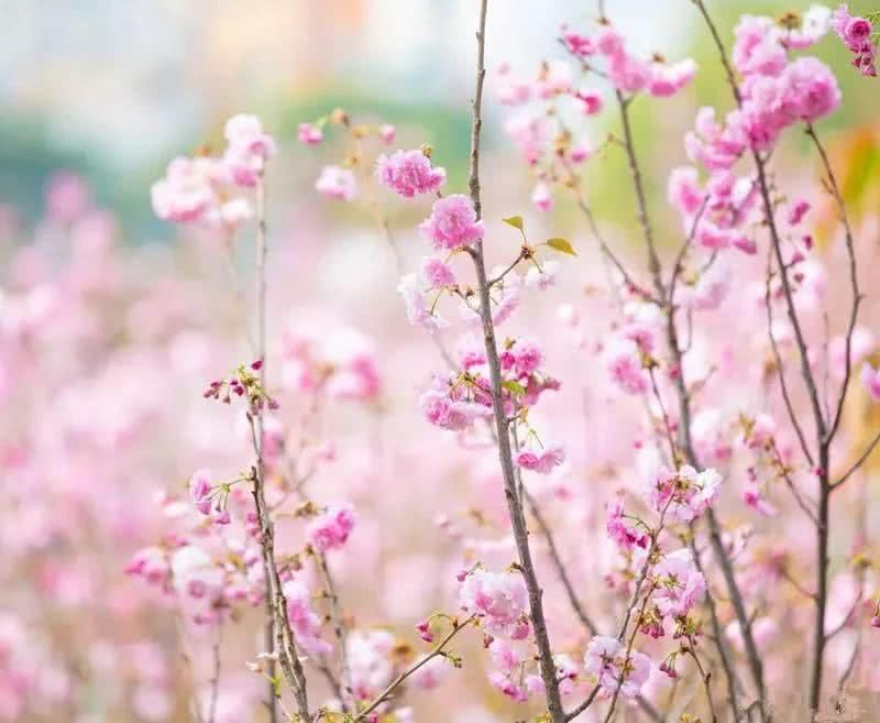 不用去日本,在清远就可以看满园樱花,自驾车3
