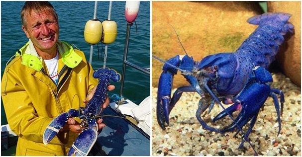 男子捕到蓝龙虾 盘点动物的蓝色世界