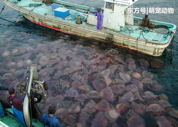 日本海域发现大批透明的尸体, 真相惊人
