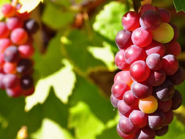 葡萄采收前做好钙素补充!品质产量超出预期