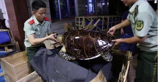 为卖高价 玳瑁龟被人用开水活活烫死