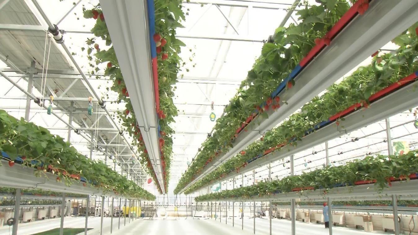 听钢琴练瑜伽 干活都是机器人 科技农业打造云端草莓园